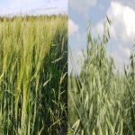 Barley and oats