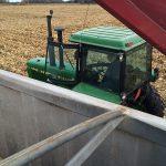 My second corn crop