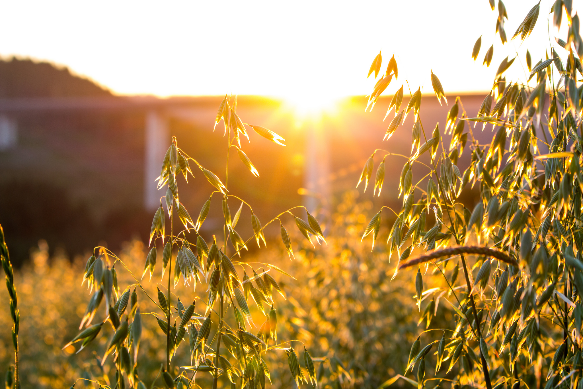 Sun shining through oats