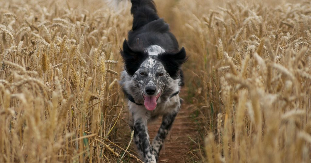 Dog running in wheat