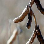 mature soybean pods