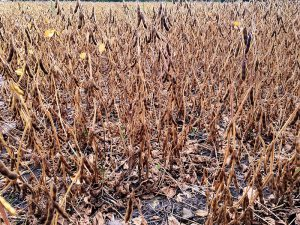 Brown soybeans in the field