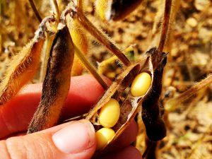 Soybean pod ready for harvest