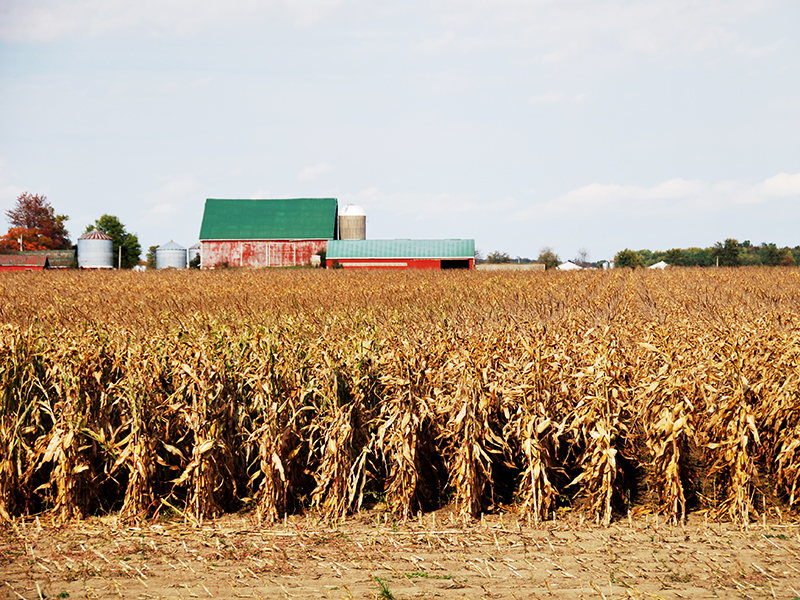 Corn in the field that is ready for harvest