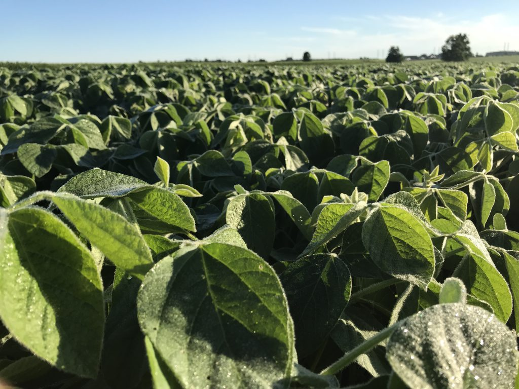 Close up of soybean plants.