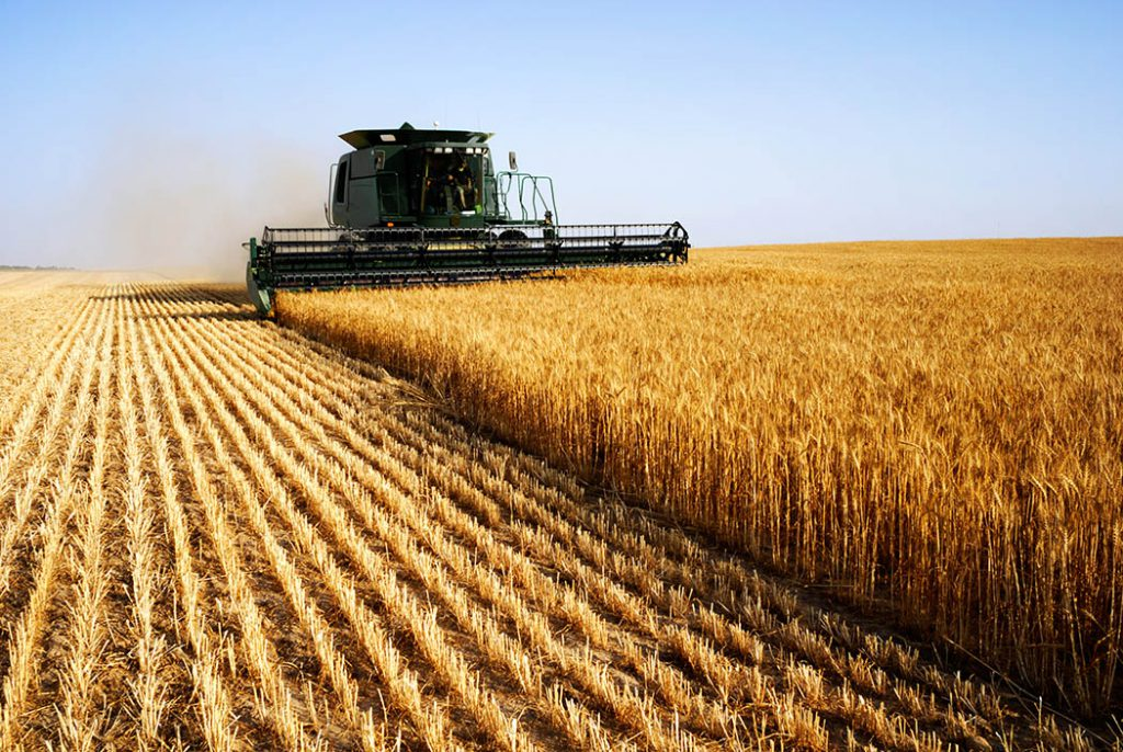 green combine harvesting golden winter wheat