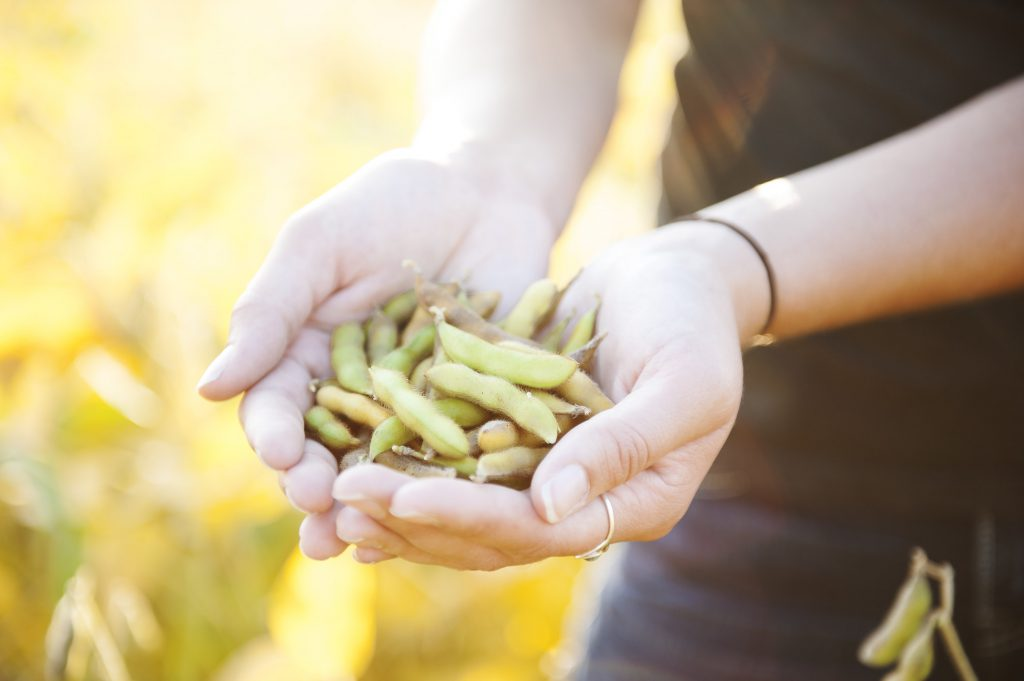 woman holding soybean pods in a mature soybean field in sunlight