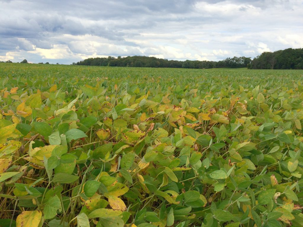 Ontario soybeans leaves beginning to change colour from green to yellow/brown in preparation of fall harvest.