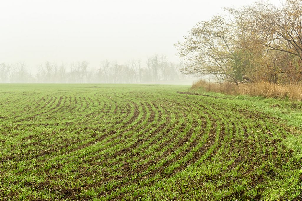 Field of growing Ontario winter wheat on a foggy autumn morning