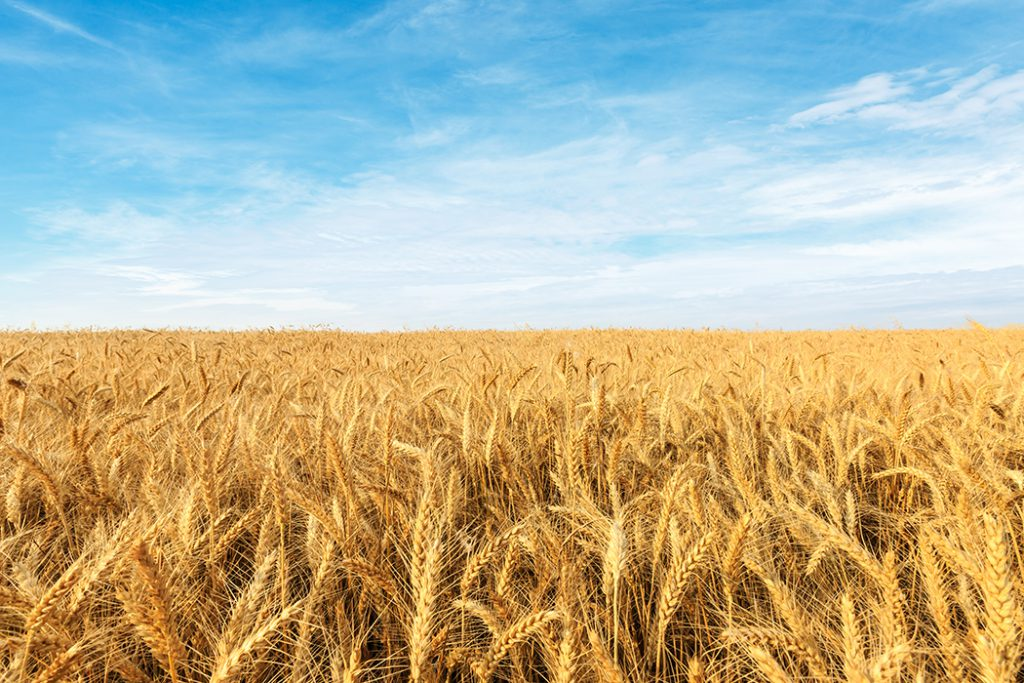 yellow wheat field under a blue sky.
