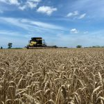 Wheat harvest. image courtesy of Grace Mullen.